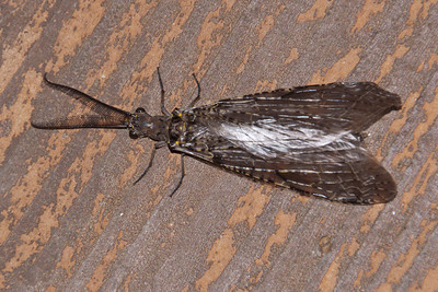 Fishfly - Dunning Lake - Itasca County, MN