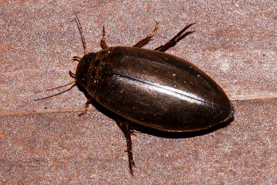 Beetle - Diving- ( Genus Colymbetes) - Dunning Lake - Itasca County, MN