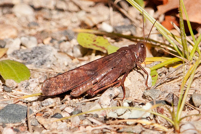 Grasshopper - Unidentified - Mcavity Bay boat landing - Bowens Road - Itasca County, MN