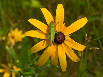 Grasshopper on Black-eyed Susan - Dunning Lake - Itasca County, MN