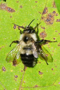 Bee - Bumble - (Pyrobombus) - Dunning Lake - Itasca County, MN