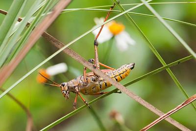 Grasshopper - Eastern Lubber - Corkscrew Swamp, FL