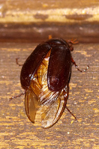 Beetle - May - Dunning Lake - Itasca County, MN