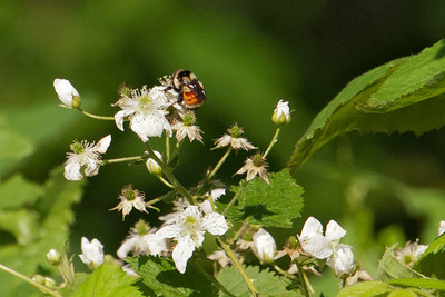 Bee on Blackberry Flower - Grand Rapids, MN