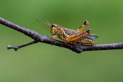 Grasshopper - Red-legged - (Melanoplus femurrubrum) - Dunning Lake - Itasca County, MN