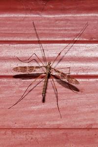 Fly - Crane - (Epiphragma fasciapenne) - Bayfield, WI
