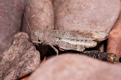 Grasshopper - Carolina - female - (Dissosteira carolina) - Paradise Beach - Lake Superior, MN