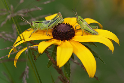 Grasshopper - Two-striped - Dunning Lake - Itasca County, MN