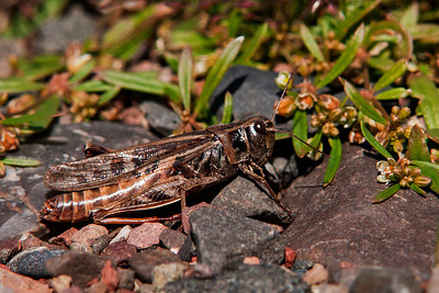 Grasshopper - Clear-winged - adult female - (Camnula pellucida) - Paradise Beach - Lake Superior, MN