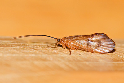 Caddisfly - Dunning Lake - Itasca County, MN