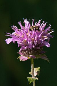 Bee on Wild Bergamot - Dunning Lake - Itasca County, MN