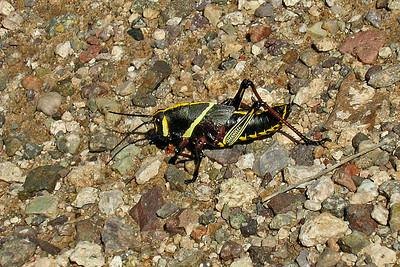 Grasshopper - Horse Lubber - Madera Canyon, AZ