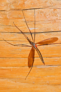 Crane Fly with mites - Dunning Lake - Itasca County, MN
