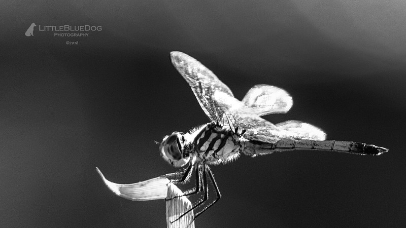IMG_6024SABOTdragonflies71b&wcroplbd