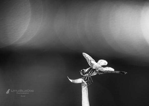 IMG_6024SABOTdragonflies71b&wlbd