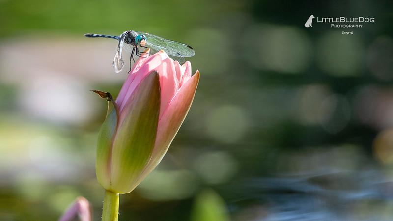 IMG_6004SABOTdragonflies51lbd