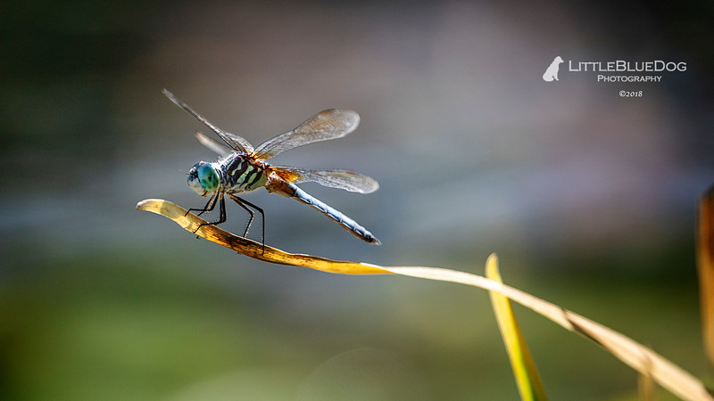 IMG_6000SABOTdragonflies47lbd