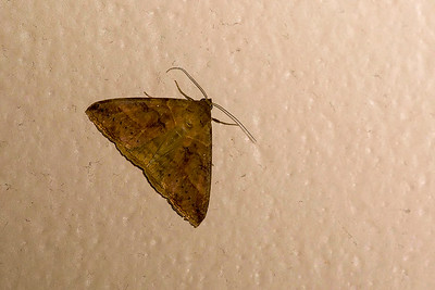 Brown Panopoda Moth