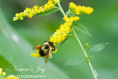 Bumble Bee with Pollen Baskets