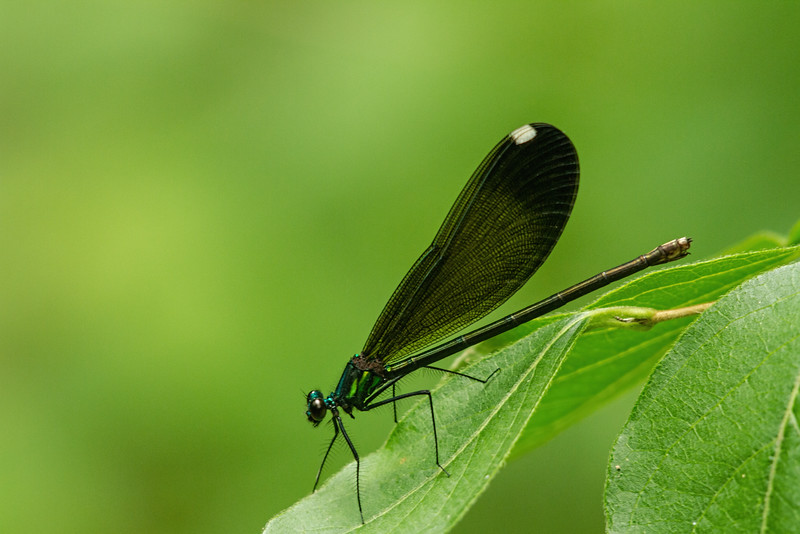 Ebony Jewel wing take by Jerry Dalrymple