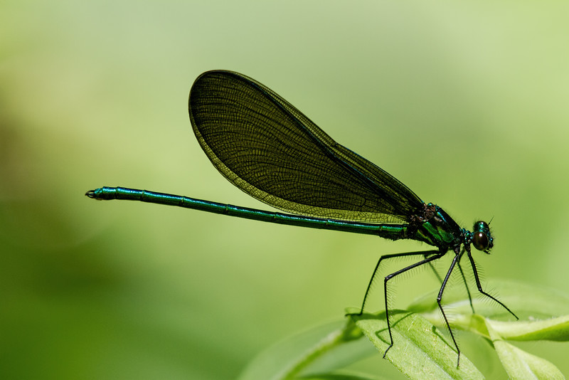 Ebony Jewel wing taken by Jerry Dalrymple