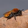 Andrena fulva female, May
