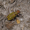 Green Tiger Beetle - Cicindela campestris, May