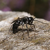 Pompilid wasp, August