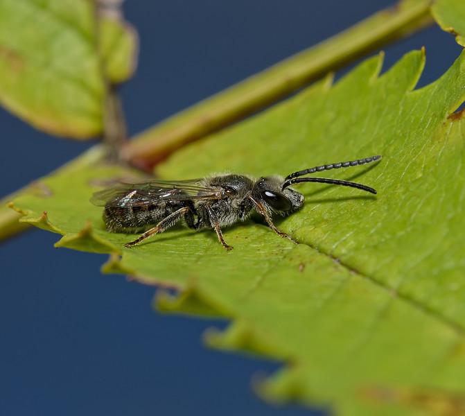 Lasioglossum sp, October