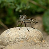 Robber fly, August