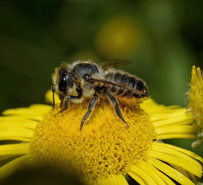 Megachile sp, August