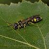 Mellinus arvensis, August