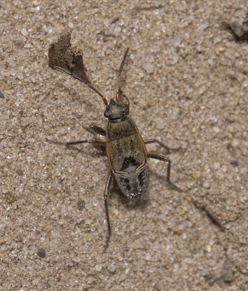 Rhyparochromus pini nymph, July