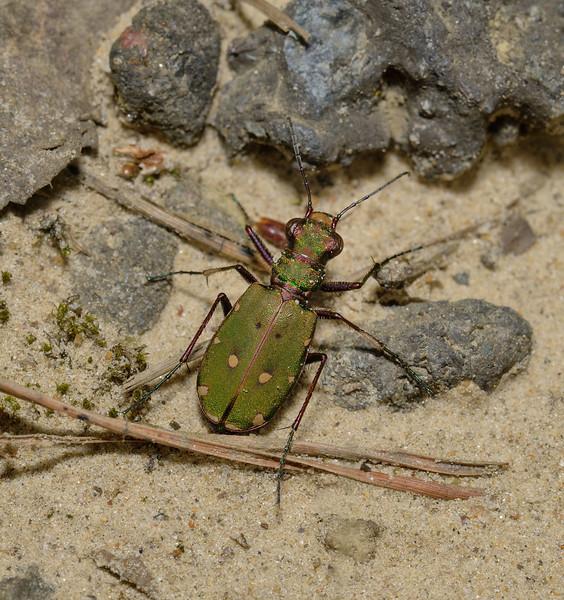 Green Tiger Beetle - Cicindela campestris, April