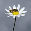 Sawfly, Tenthredo sp, August