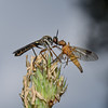 Robber fly and prey, July