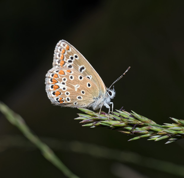 Common Blue, August