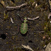 Green Tiger Beetle - Cicindela campestris, March