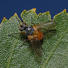 Subclytia rotundiventris, August