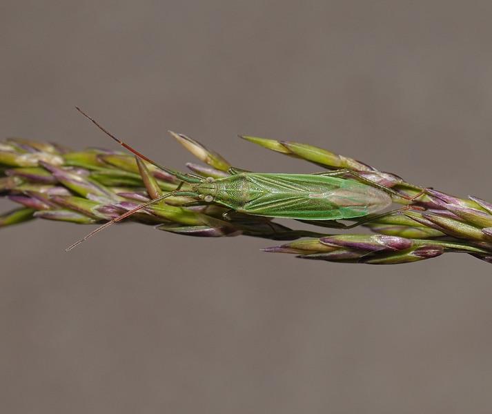 Stenodema calcarata, July