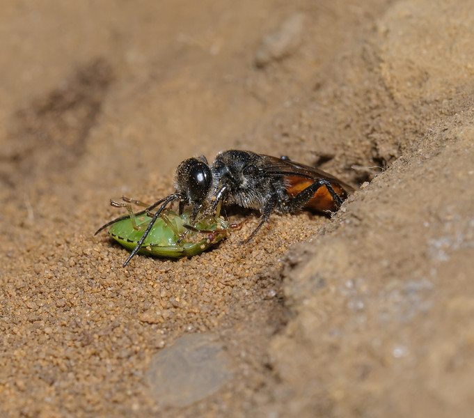 Astata boops with shieldbug nymph prey, August