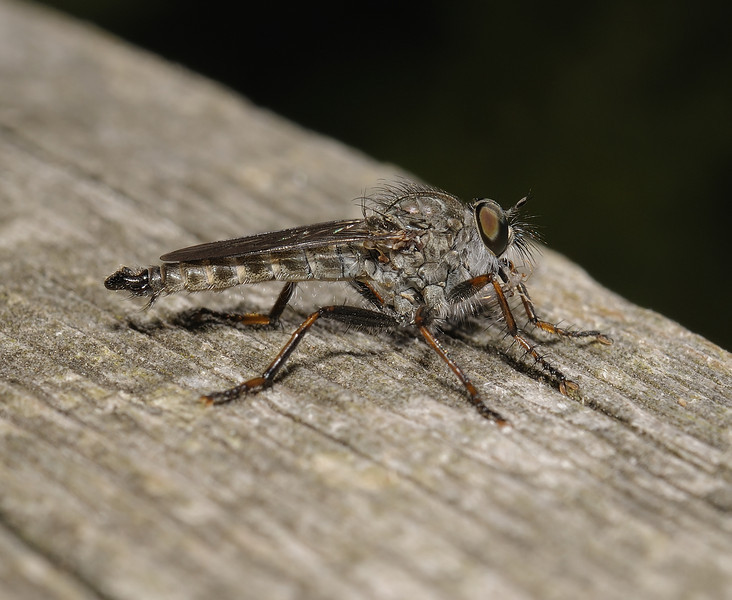 Robber fly, July