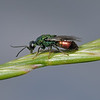 Cuckoo Wasp, June