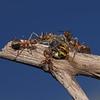 Formica rufa with Cerceris sp prey, July