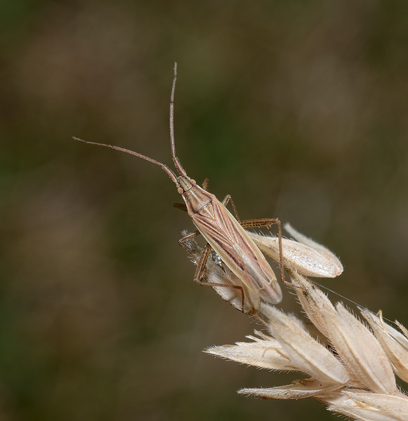 Stenodema calcarata, September