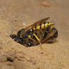 Philanthus triangulum female with Honeybee prey, July