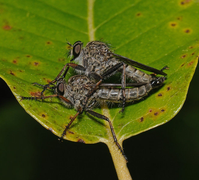 Robber fly pair, August