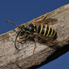 Dolichovespula media, July