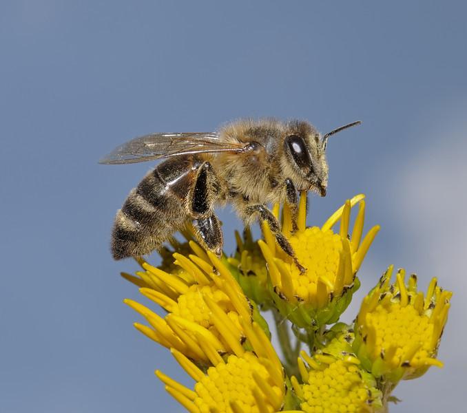 Honey Bee - Apis mellifera, July