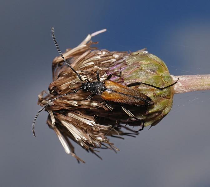 Stenurella melanura, July